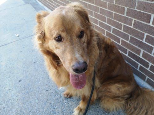 Free stock photo of dog, golden retriever, outside, sidewalk