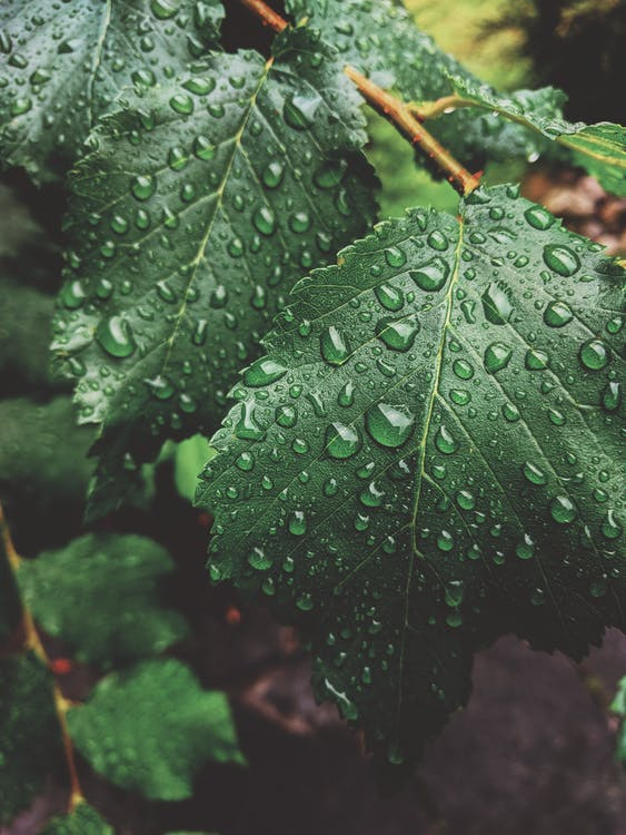 Close-Up Photo of Wet Green Leaves