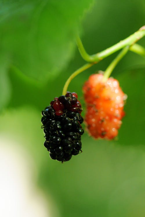 Free stock photo of eating healthy, fresh fruit, mulberries