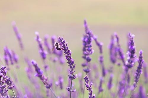 Бесплатное стоковое фото с весна, время весны, закат, лаванда