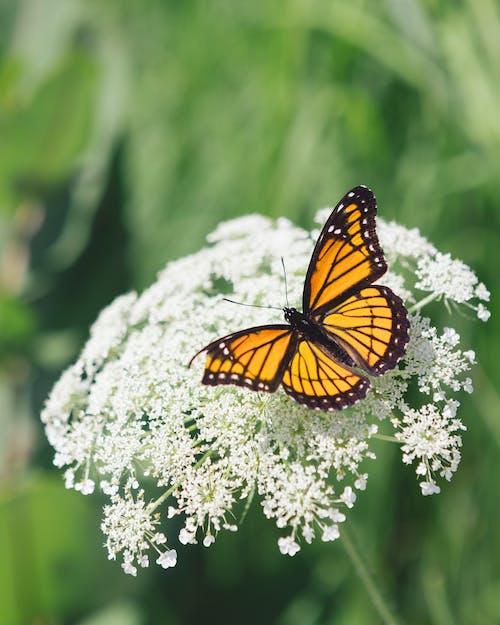 คลังภาพถ่ายฟรี ของ ดอกไม้สีขาว, ต้นไม้เยอร์เร็อว์, ธรรมชาติ, ผีเสื้อ