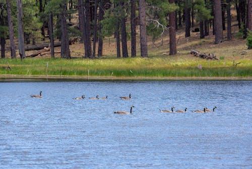 dalmak, göl, kazlar, yüzmek içeren Ücretsiz stok fotoğraf