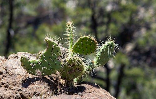 arizona, çöl, kaktüs içeren Ücretsiz stok fotoğraf