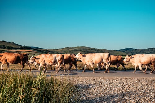 Photo of Herd of Cattle on Road