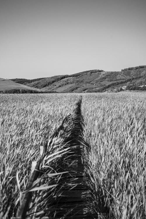Gratis stockfoto met akkerland, boerderij, eenkleurig, gewas