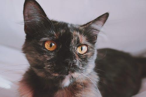 Бесплатное стоковое фото с глубина резкости, домашняя кошка, животное, кошачий глаз
