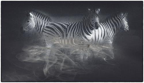 斑馬, 藝術, 野生動物 的 免費圖庫相片