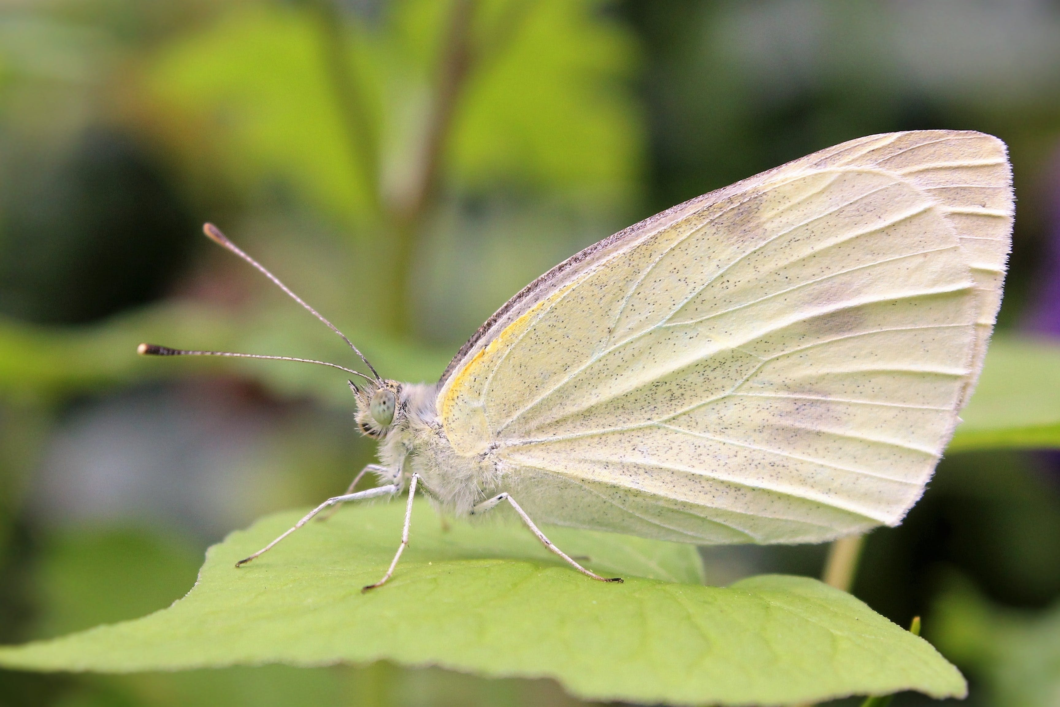 butterfly, close-up, insect