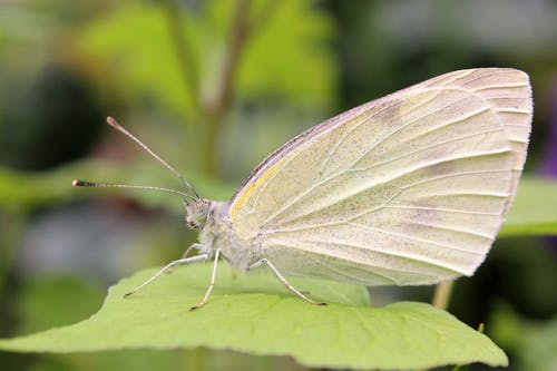 Macro Photography of Veined-white Butterfly on Leaf