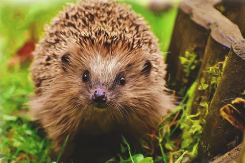Close-up Photography of Brown Hedgehog