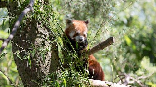 Безкоштовне стокове фото на тему «зоопарк, зоопарк цюріха, Панда, Фотополювання»