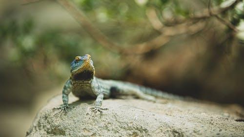 도마뱀, 동물, 동물 사진, 동물원의 무료 스톡 사진