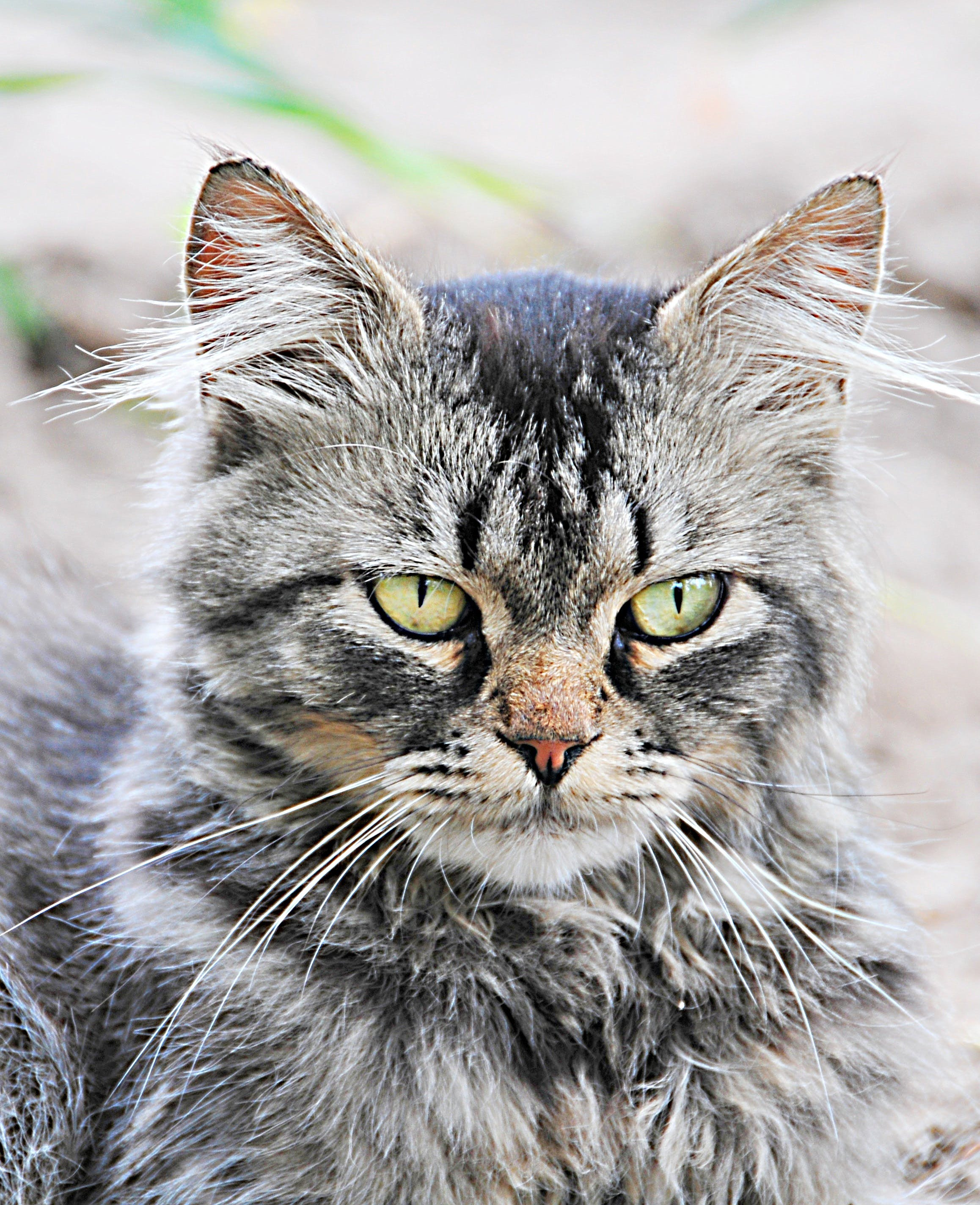 Free stock photo of angry cat, cat, domestic, feline