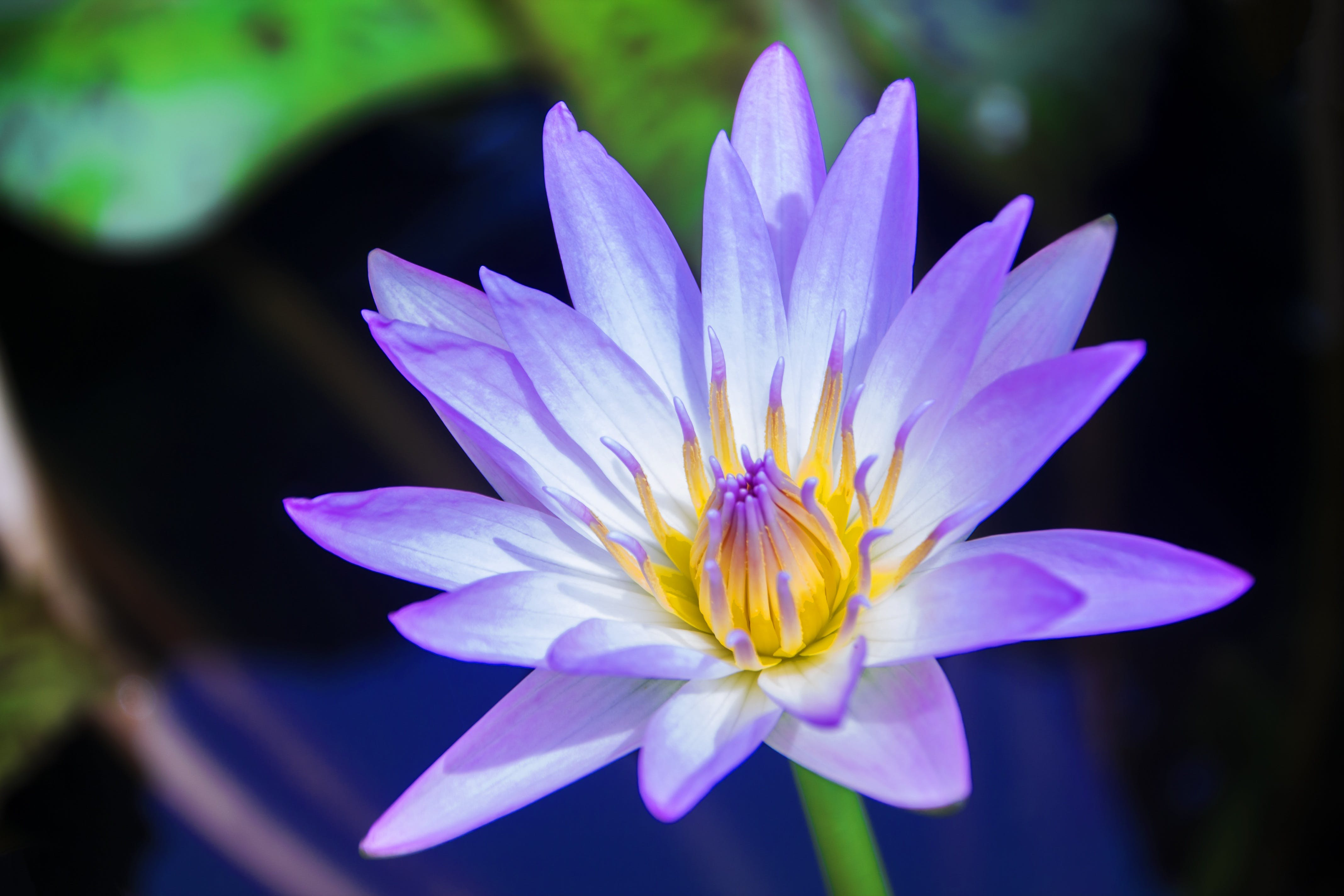 Free stock photo of pond, flower, bloom, blossom