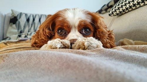 bakmak, gözler, kanepe, köpek içeren Ücretsiz stok fotoğraf