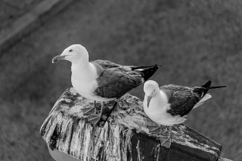 Monochrome Photo of Seagulls