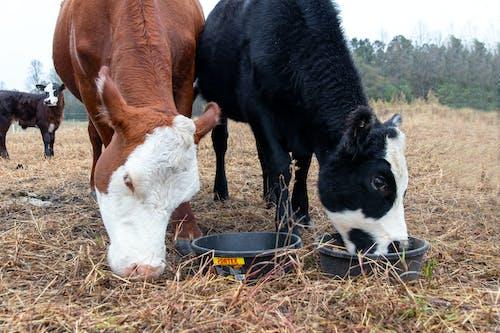 Fotobanka sbezplatnými fotkami na tému agbiopix, dobytok, hovädzie mäso, krava