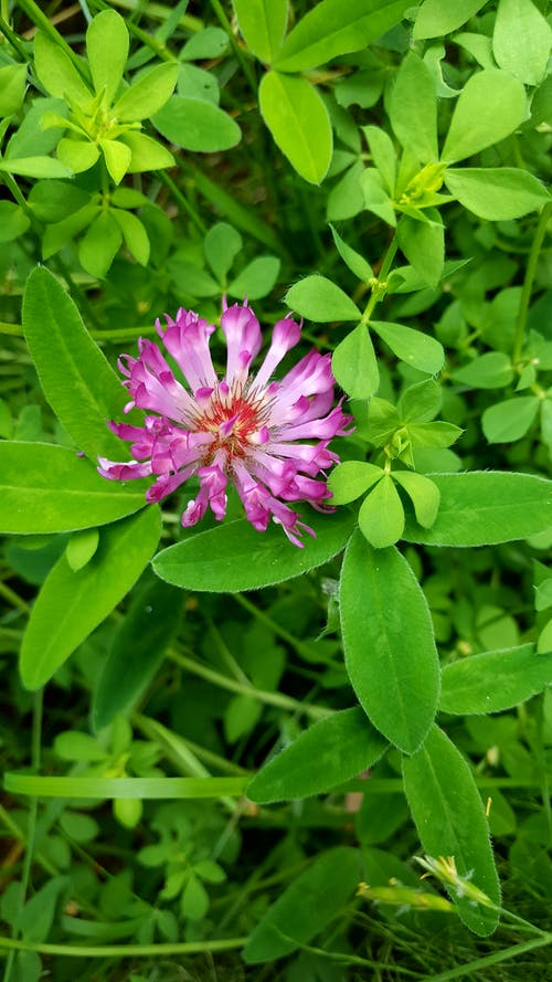 Free stock photo of blossom, clover, field, flora