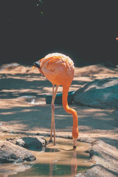 Gratis lagerfoto af dyr, dyreliv, flamingo, fugl