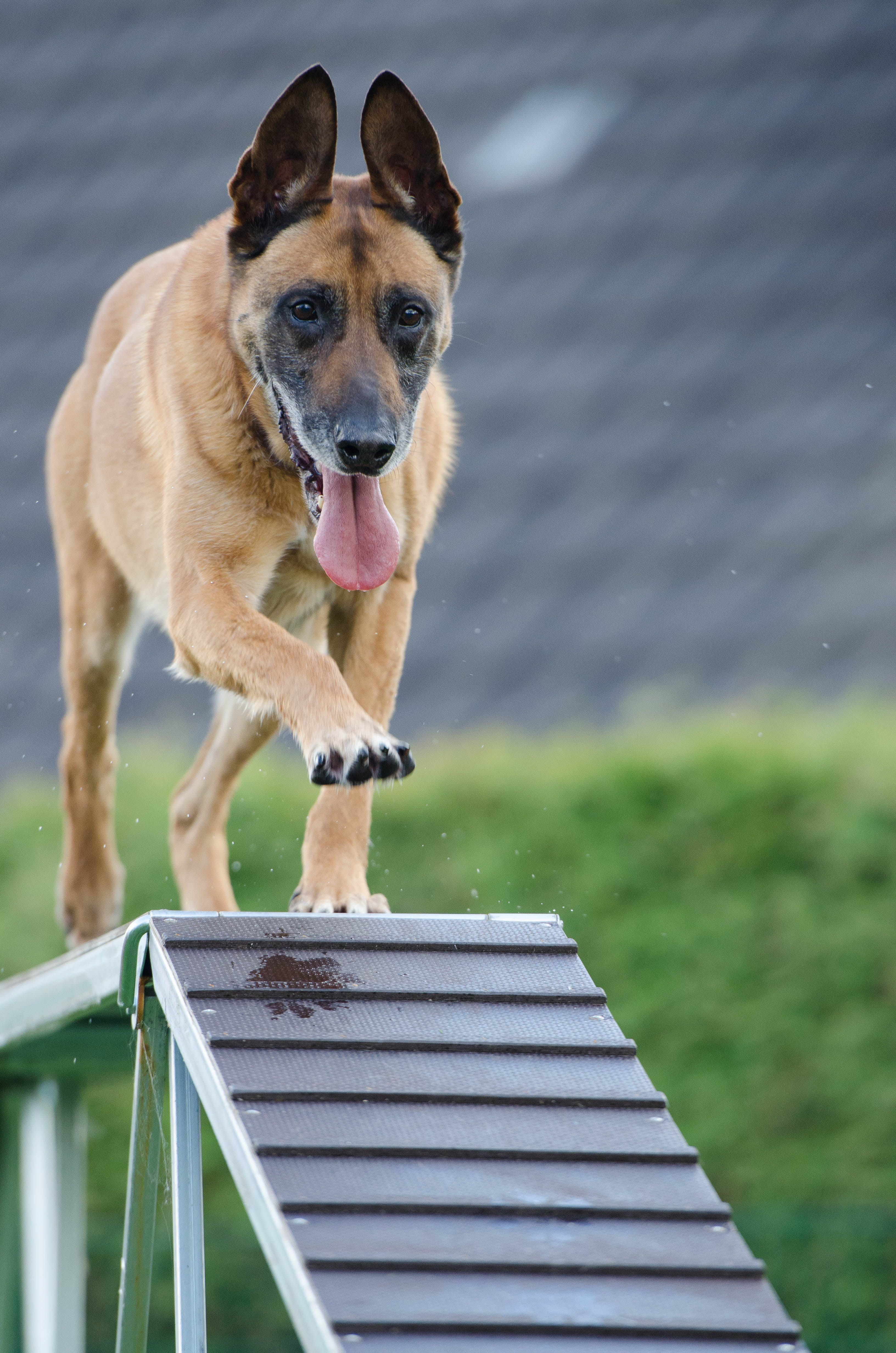 Short-coated Brown Dog on Wooden Beam