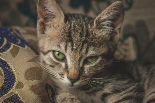 Бесплатное стоковое фото с домашнее животное, животное, кошачьи, кошка