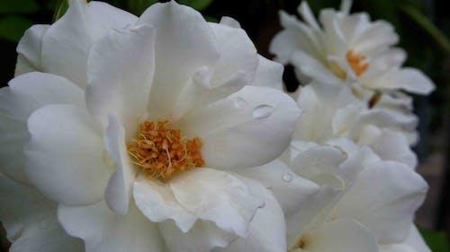 Ảnh lưu trữ miễn phí về hoa hồng, trắng