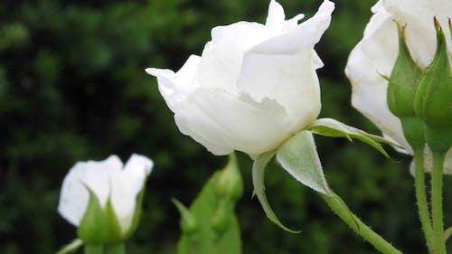 玫瑰, 白色 的 免费素材照片