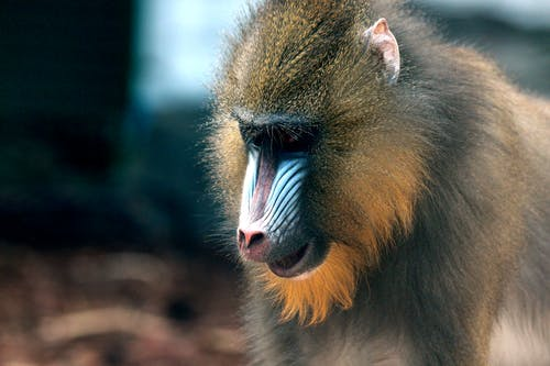 Close-Up Photo of Mandrill