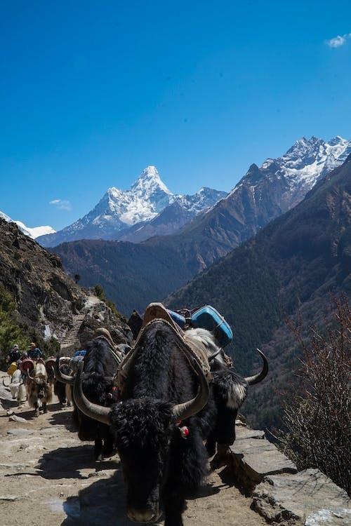 네팔, 모험, 산, 야크의 무료 스톡 사진