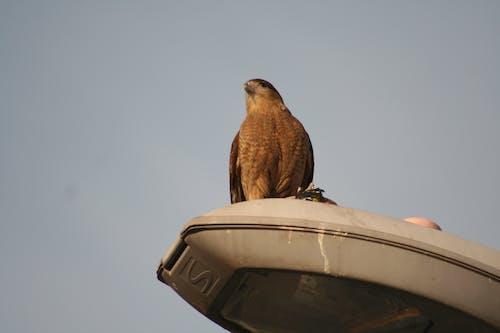Free stock photo of animal, city, eagle