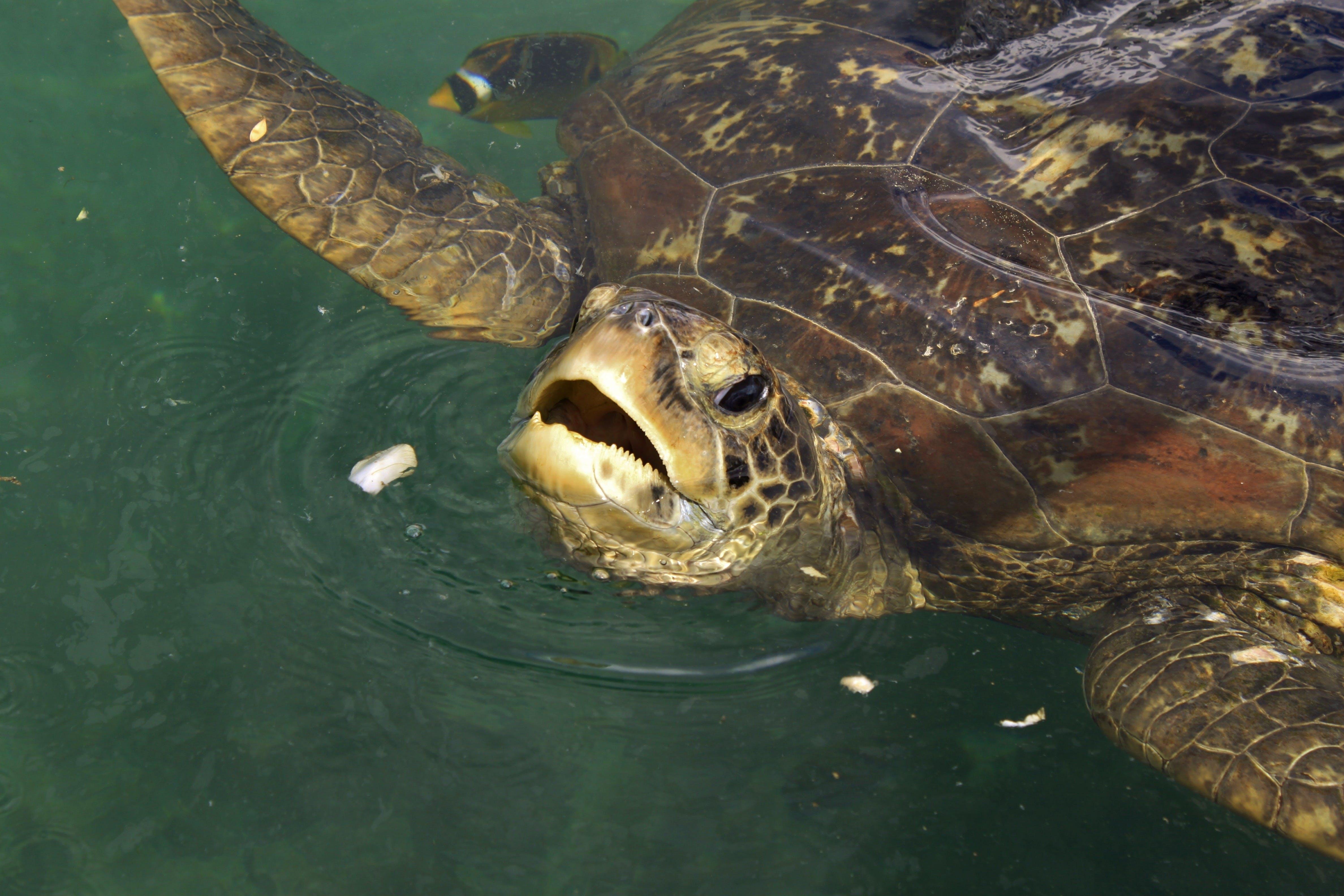 Free stock photo of meeting, sea turtle, kélonia