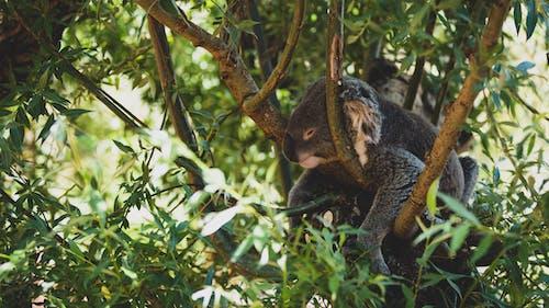 Безкоштовне стокове фото на тему «дерево, дика природа, дика тварина, Коала»