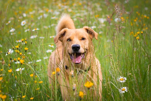 Free stock photo of cute dog, dog, golden, happy