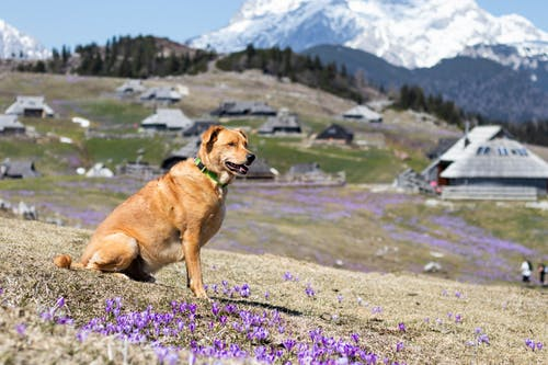 Medium Short-coated Brown Dog