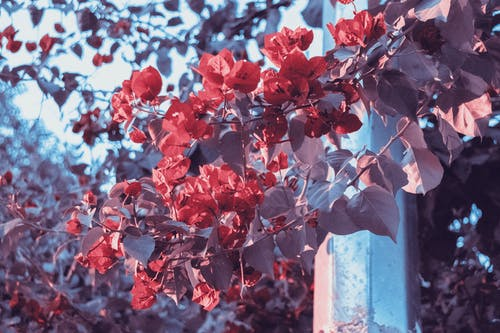 Photo of Red Bougainvillea Flowers