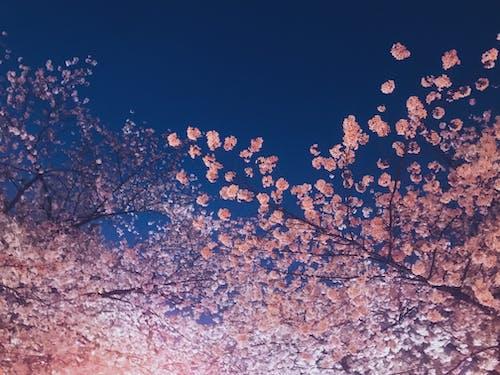 Free stock photo of #sakura