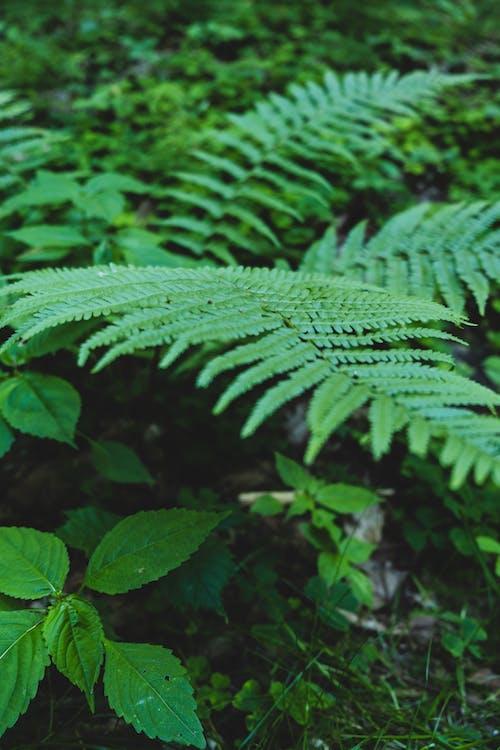Free stock photo of bracken, fern, fern leaf, fern leaves