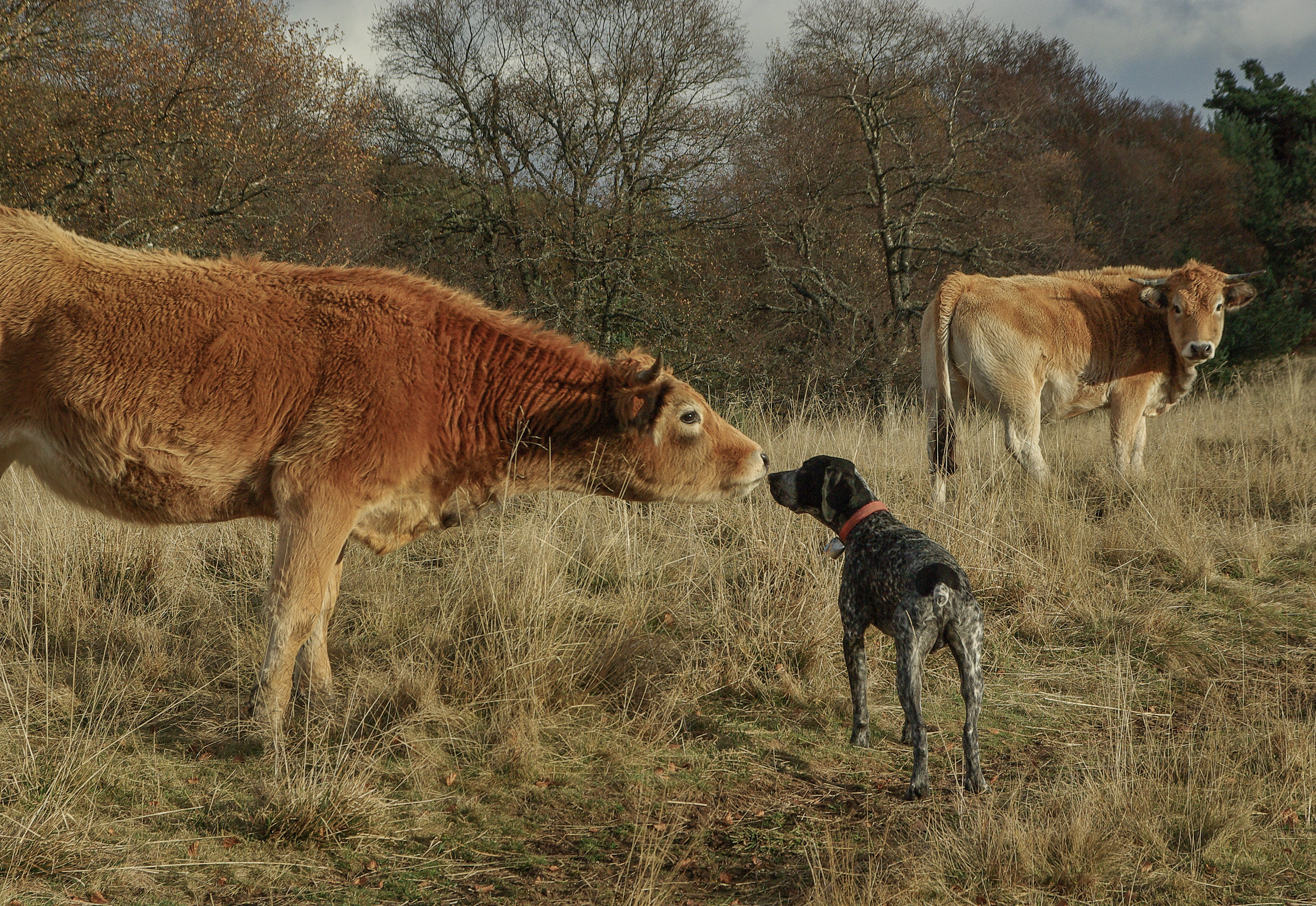 Free stock photo of meeting, cows, herd, hunting dog