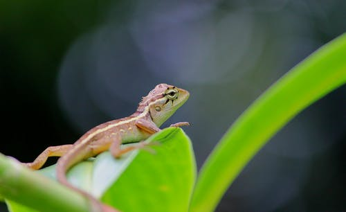 Close-Up Photo of a Garden Lizard