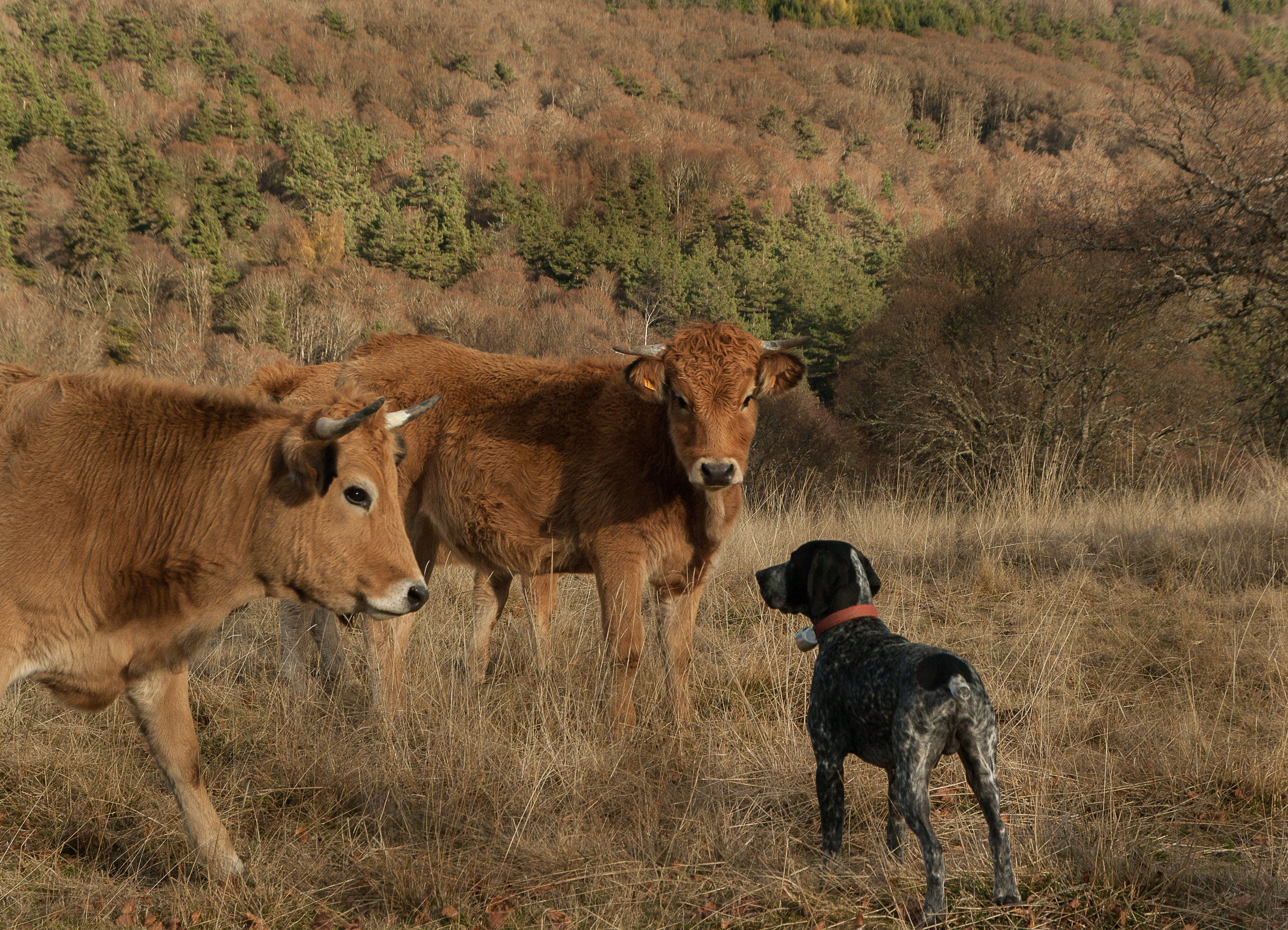 Free stock photo of cows, hunting dog, lozère, meeting