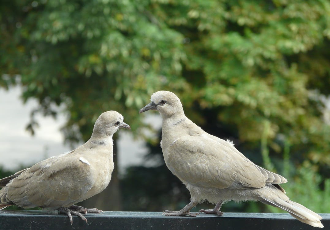 Two White Doves on Metal Fence