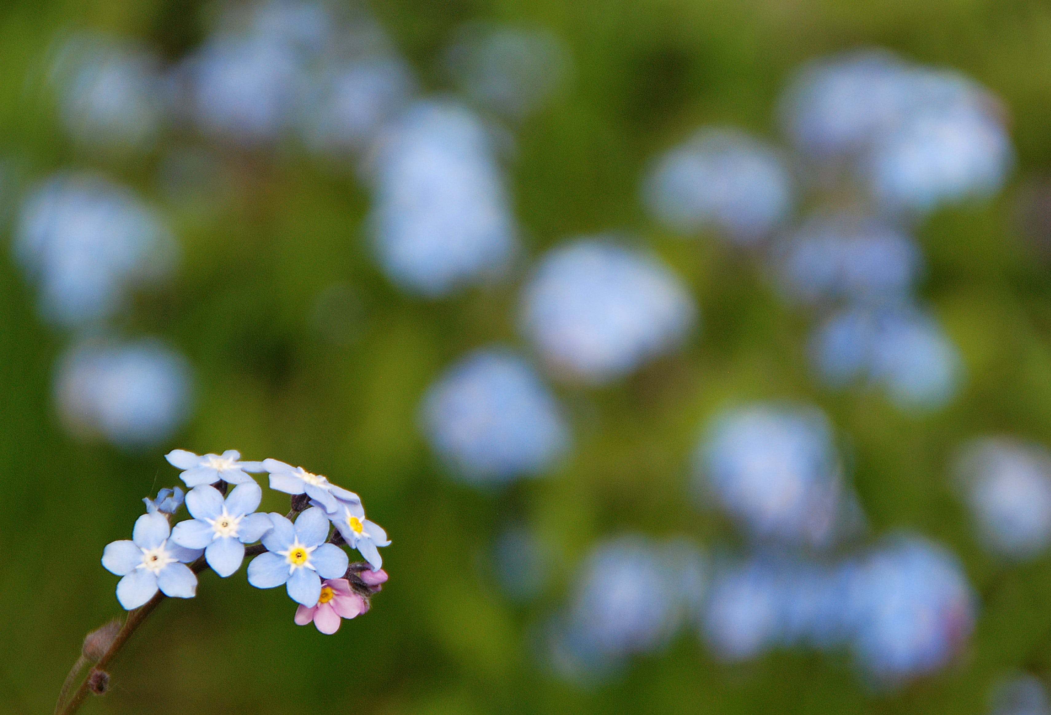 Blue Forget-me-not Flowers Selective-focus Photography