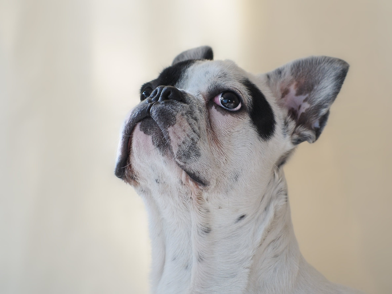 Free stock photo of animal, dog, french bulldog