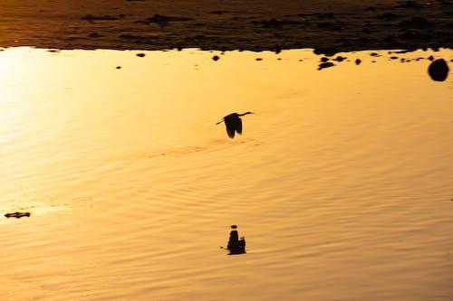Foto stok gratis bangau, burung, kehidupan liar, matahari terbenam