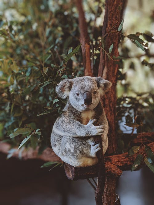 Photo of Gray Koala Bear Hugging Tree