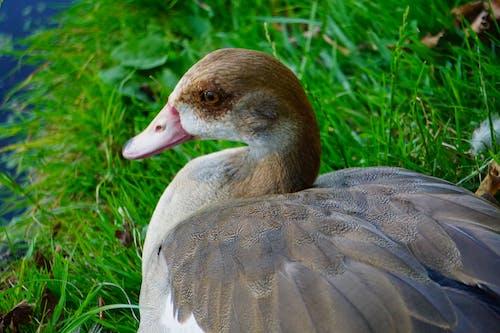 Fotobanka sbezplatnými fotkami na tému kačica, perie, vták