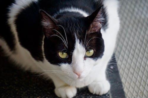Fotobanka sbezplatnými fotkami na tému mačka, oči, zelená