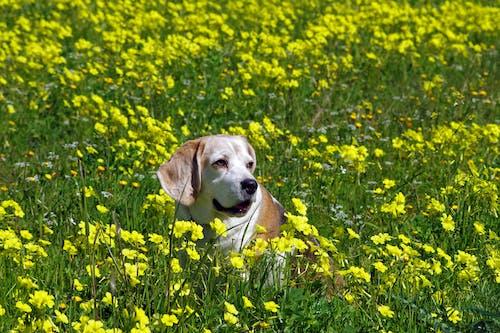 Ilmainen kuvapankkikuva tunnisteilla eläin, kasvikunta, kenttä, koira