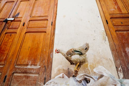 Brown Hen Near Wall