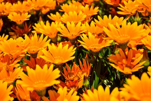 Close-up Photo of Yellow African Daisies